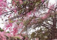 浪漫粉色,广州这个地方的丝木棉堪比樱花海洋~~~需带身份证入门