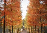 广州大观湿地公园迎来秋色,落羽杉、芦苇、狗尾草爆红