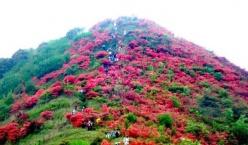 广州从化通天蜡烛美景等你来!漫山遍野杜鹃开,花期仅4月10日前后,速速打卡