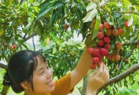 2020从化荔枝采摘一天自驾旅游桂味、糯米糍任吃,时间6月18日至7月5日