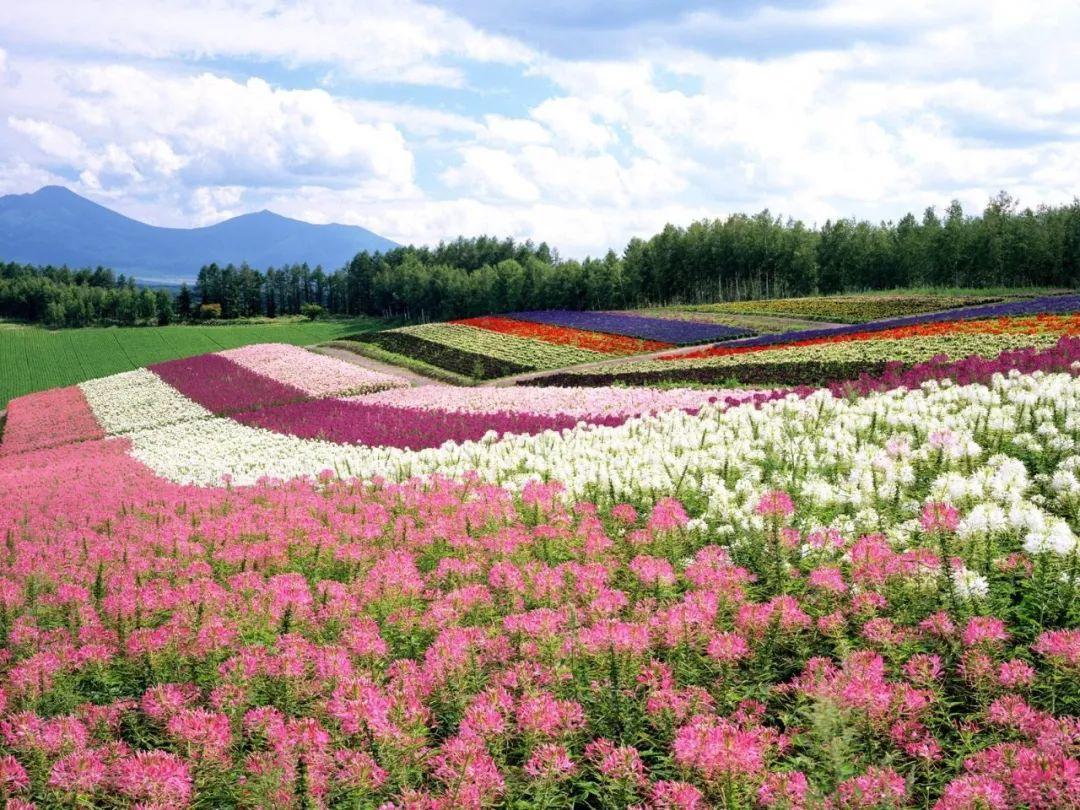 壁纸 成片种植 风景 花 植物 种植基地 桌面 1080_810