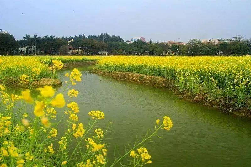 广东这里有一片300亩金灿灿的油菜花,火遍朋友圈!快来打卡!!